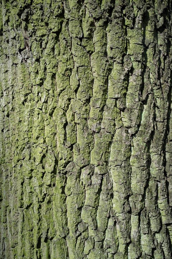 Casca de árvore do álamo ou Rhytidome coberta com Moss Texture Detail imagem de stock