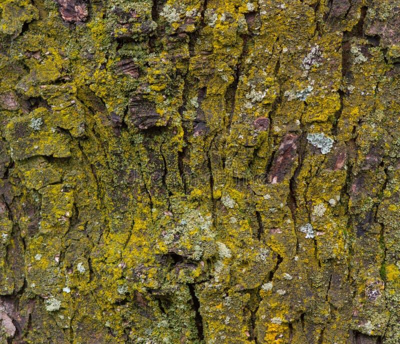 Casca de árvore do bordo com fim do musgo acima imagem de stock royalty free