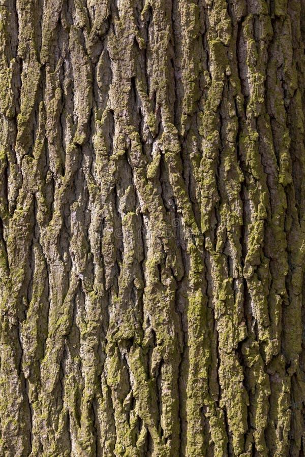 Casca de árvore do carvalho fotografia de stock