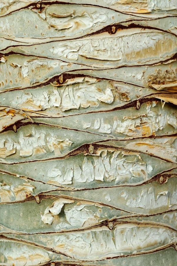 Casca de árvore do dragão foto de stock