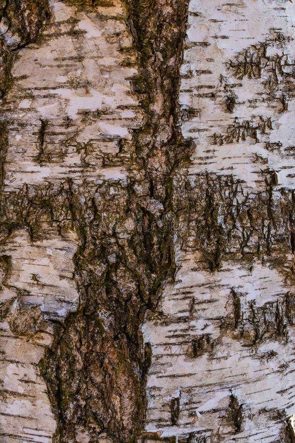Casca de árvore do vidoeiro ilustração royalty free