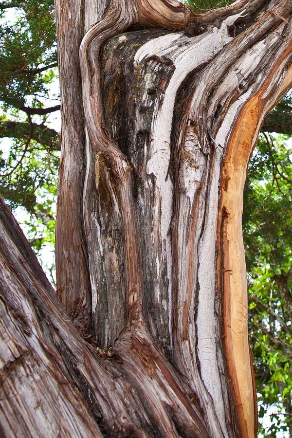 Casca de árvore do zimbro imagem de stock royalty free