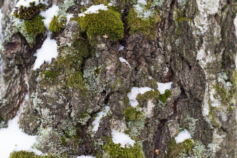 Casca de árvore em uma floresta coberta com o close-up da neve - um fundo natural foto de stock royalty free