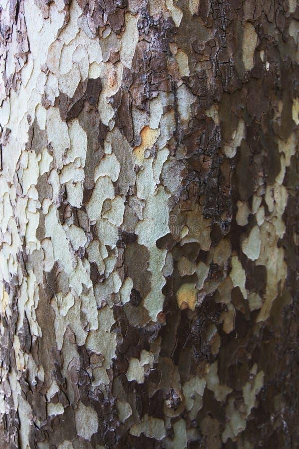 Casca de árvore de madeira incomum em marrom e em branco fotos de stock