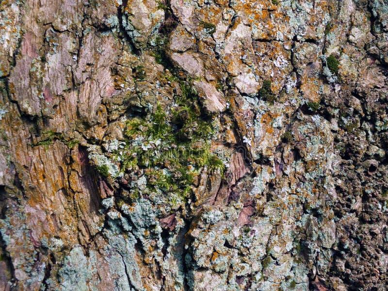 Casca de árvore marrom velha da faia com textura áspera e musgo e líquene verdes imagem de stock royalty free