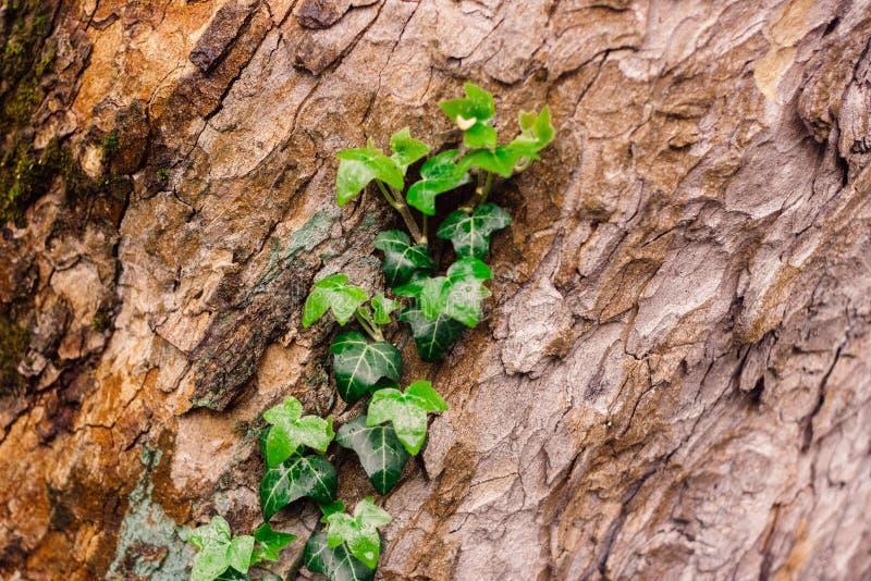 Casca de árvore textured bonita com a hera fresca verde fotos de stock