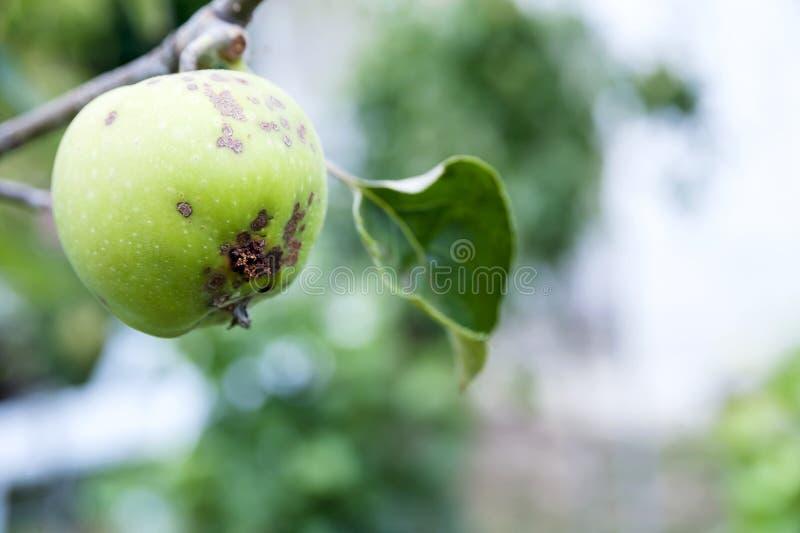 Casca de Apple, doença do fruto fotos de stock