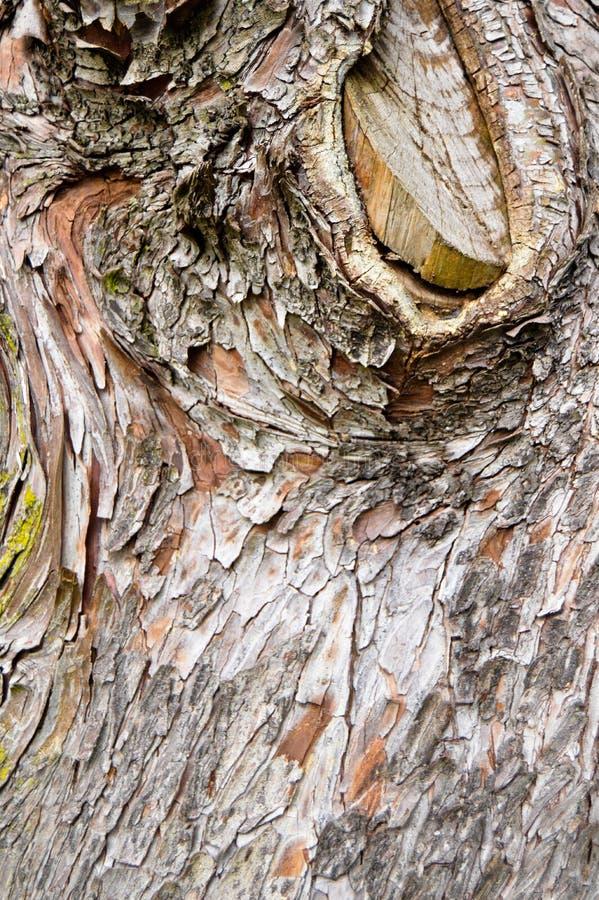 Casca de madeira abstrata da textura, árvore de cipreste imagem de stock royalty free