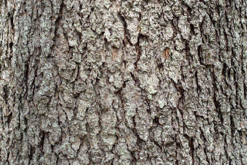 Casca de madeira do cedro fotos de stock