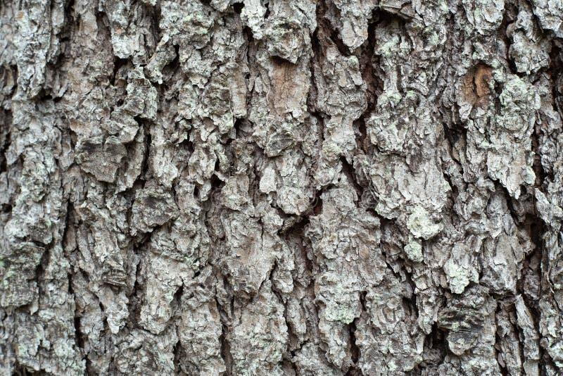 Casca de madeira do cedro fotografia de stock