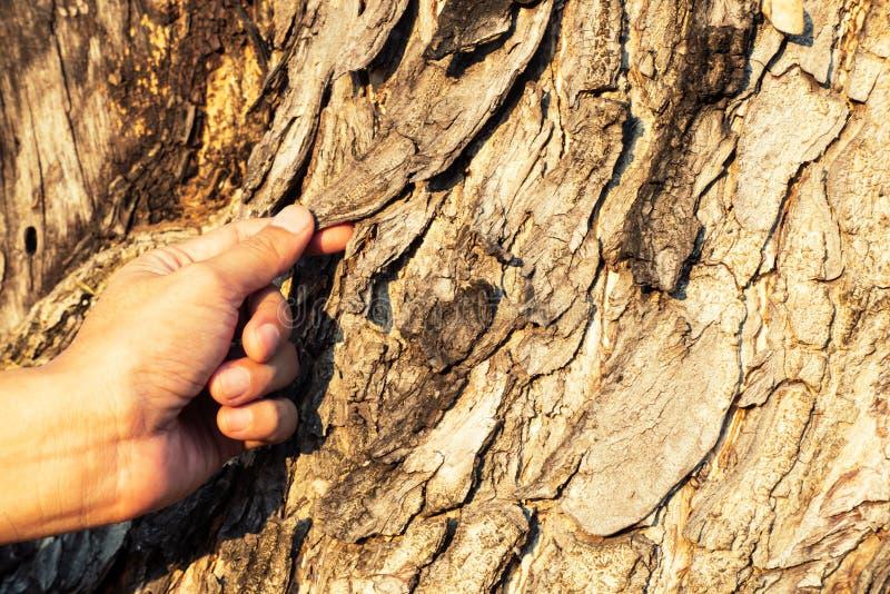 Casca de madeira velha da posse do homem, cor cinzenta, ideia do conceito do fundo da superfície da textura da árvore do close up imagens de stock