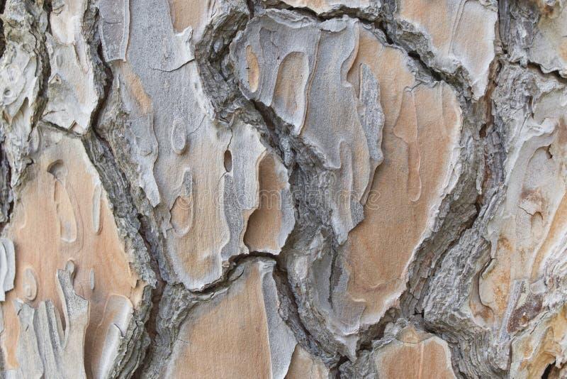Casca de pinheiro grande velha fotos de stock royalty free