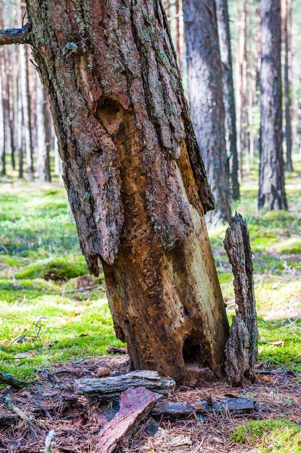Casca de pinheiro seca inoperante angular que cai para baixo na terra musgoso em surpreender a floresta sempre-verde fotos de stock