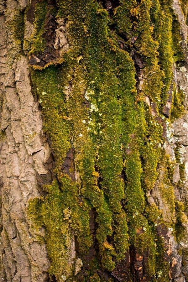 Casca de ?rvore coberta com o musgo verde fotos de stock
