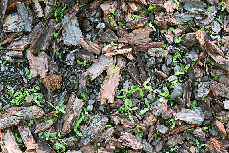 Casca de sementes do pinho e do bordo foto de stock