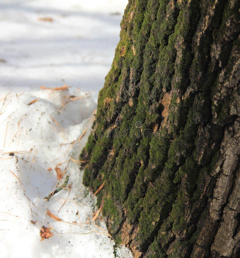 A casca de um carvalho velho coberto com o musgo verde fotografia de stock royalty free