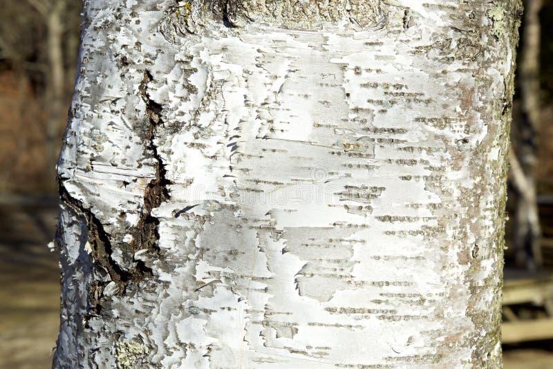 Casca de um vidoeiro branco foto de stock royalty free