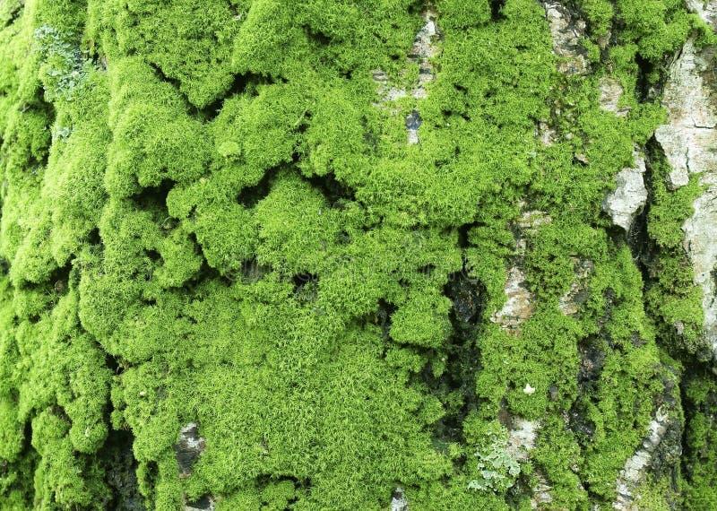 Casca de vidoeiro velha com musgo verde imagem de stock