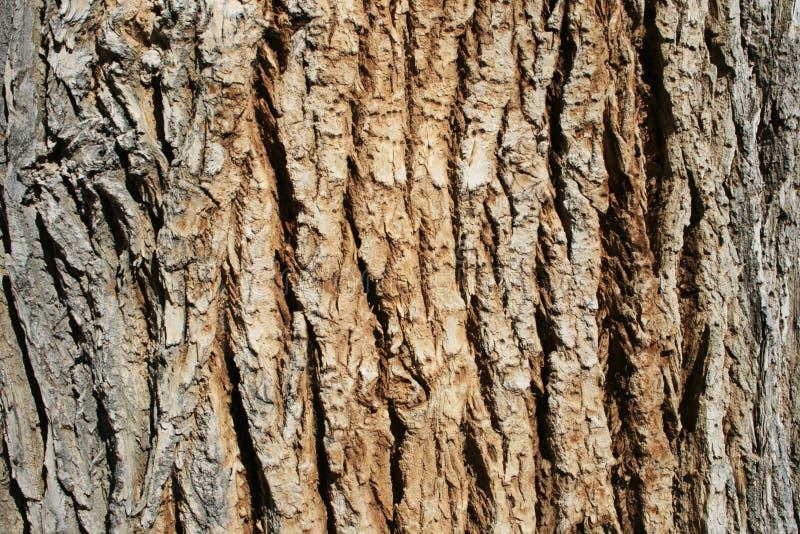 Casca do Cottonwood imagem de stock