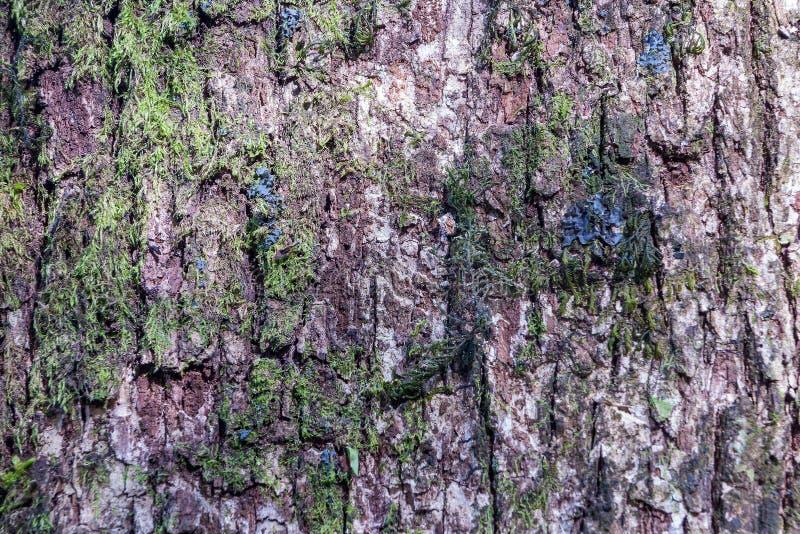 Casca do pinheiro e da textura fotos de stock