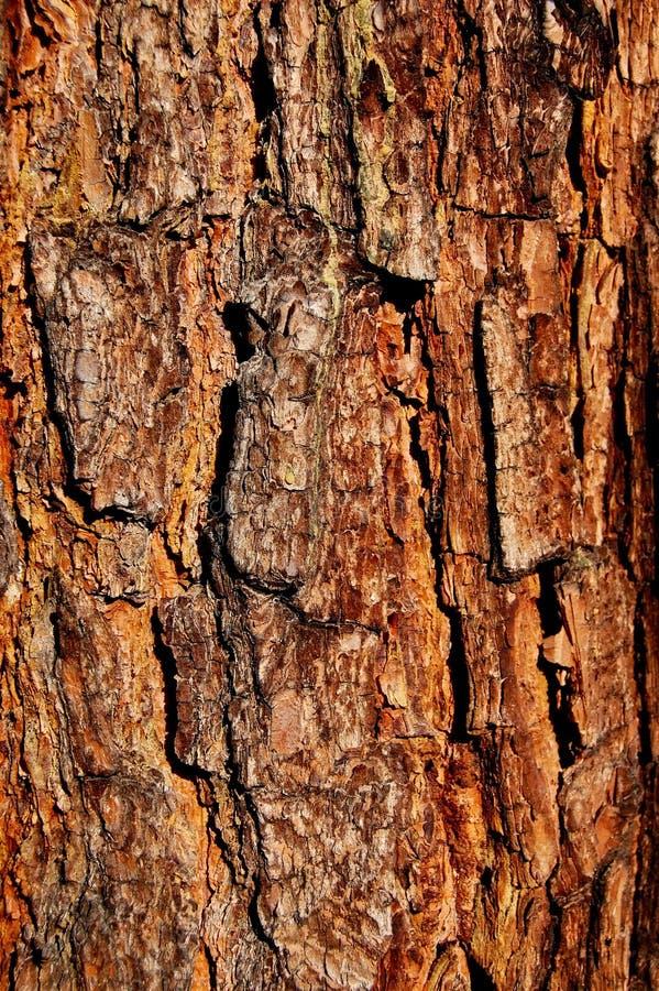 A casca do pinho Siberian. imagens de stock