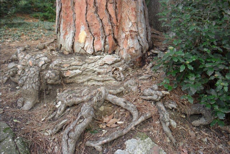 Casca e raizes de árvore foto de stock royalty free