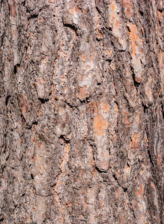 Casca estruturada modelada do tronco de árvore do pinheiral, Alemanha, close up, detalhes fotografia de stock
