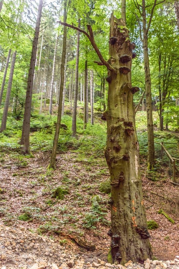 Casca original de uma árvore com saliências múltiplas fotografia de stock