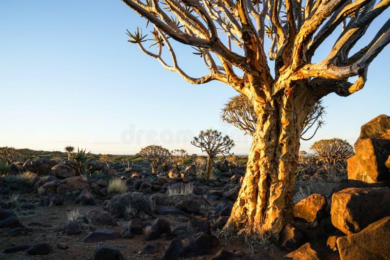 A casca rachada batidas do sol da manhã do aloés treme a árvore e o roc áspero imagem de stock royalty free