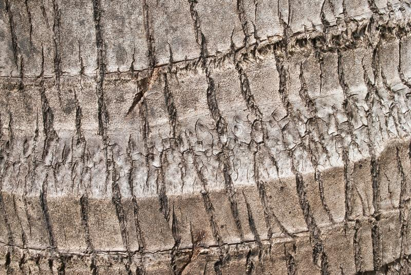 Casca rachada de árvores de coco tropicais velhas foto de stock