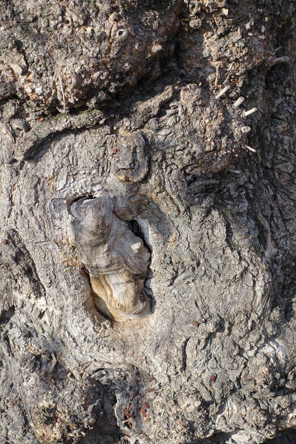 Casca torcida do marrom cinzento da árvore de cinza fotografia de stock