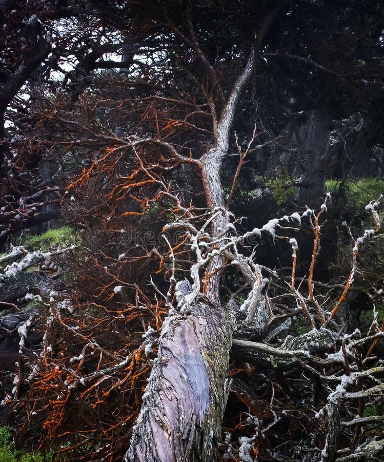 Casca torcida e membros vermelhos brilhantes na árvore de Cypress fotos de stock royalty free