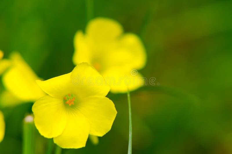 Cascabela thevetia fotografia stock