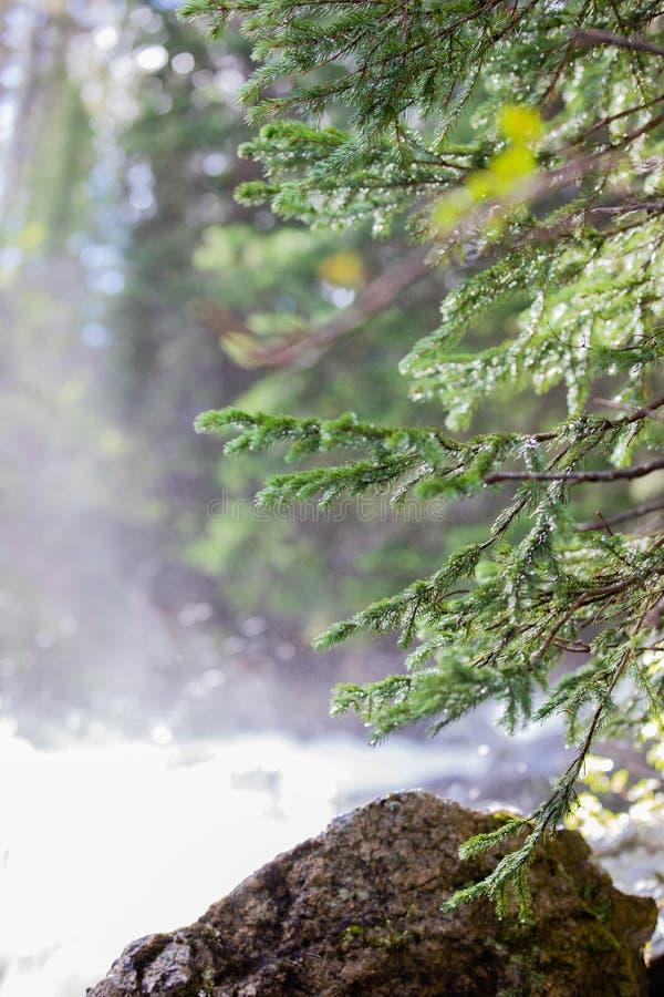 Cascada de precipitación que pone descensos de rocío que brillan intensamente en un pequeño árbol de pino en Rocky Mountain Natio fotos de archivo libres de regalías