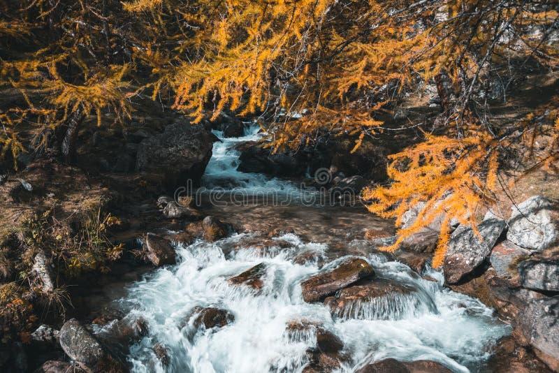 Cascada entre los árboles de alerce, paisaje del otoño, agua corriente alpina Mirada anaranjada del trullo imagenes de archivo
