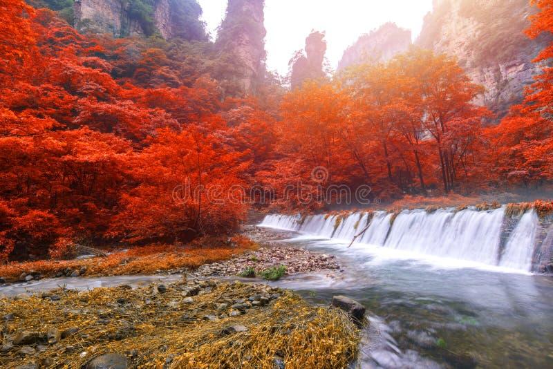 Cascade dans le courant d'or de fouet à la réserve forestière P de Zhangjiajie photo stock