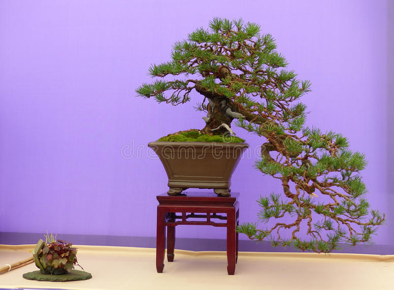 A cascade style Scots Pine bonsai on display in Belfast Northern Ireland. A cascade style Scots Pine bonsai in full flower on display in Belfast Northern Ireland royalty free stock images