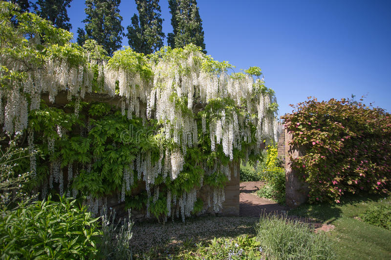 Cascade of white wisteria. White wisteria in bloom flowing over a garden wall royalty free stock photography