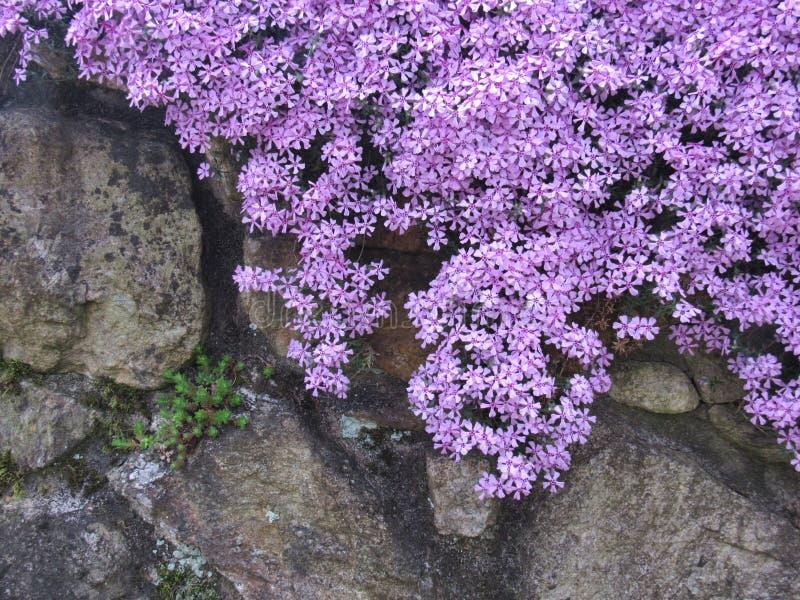 Cascading phlox on a stone wall royalty free stock photography