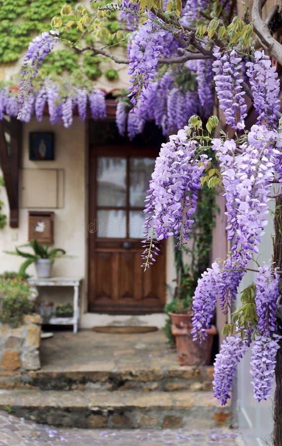 Cascading purple wisteria vine. French Village: flowering purple wisteria vine stock photos