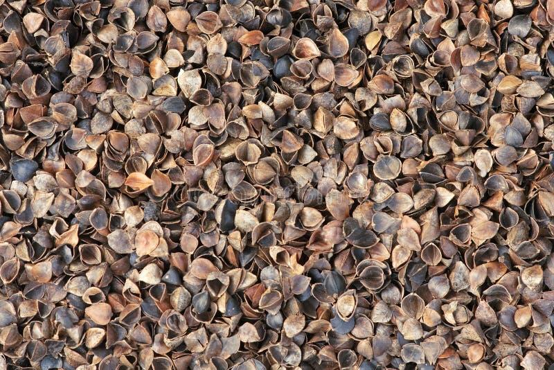Cascas do trigo mourisco foto de stock