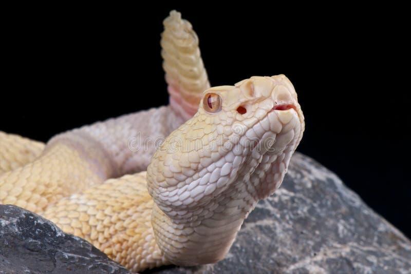 Cascavel do albino imagem de stock