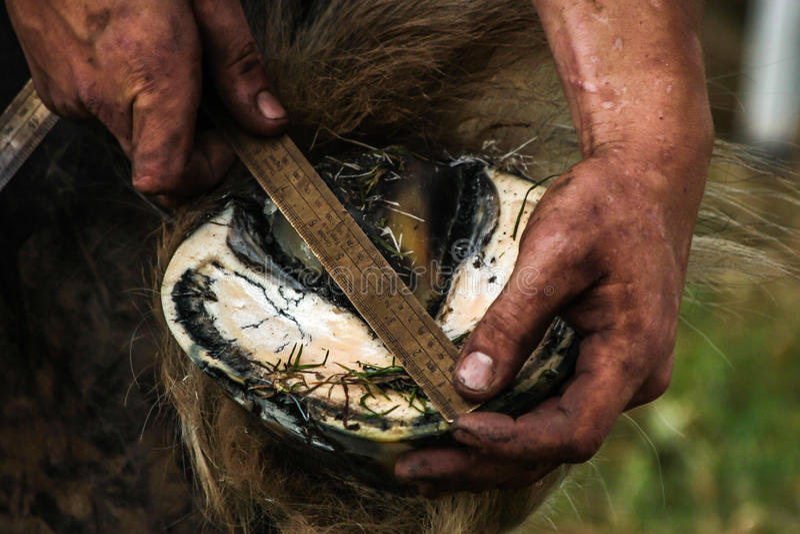 Casco dos cavalos que está sendo preparado calçando fotos de stock
