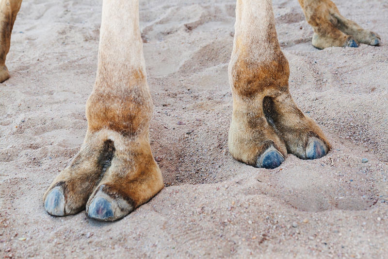 Cascos nas patas de um camelo, close-up imagens de stock