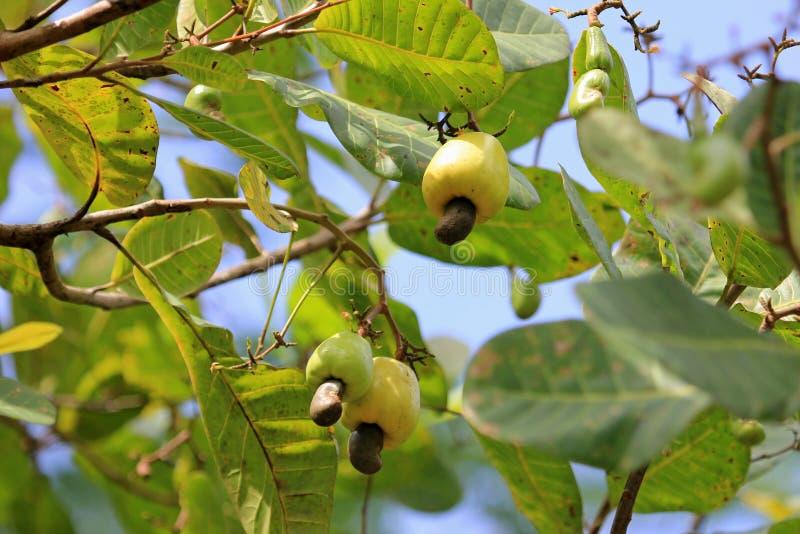 Cashew fruit, anacardium occidentale, hanging on tree, Belize stock image