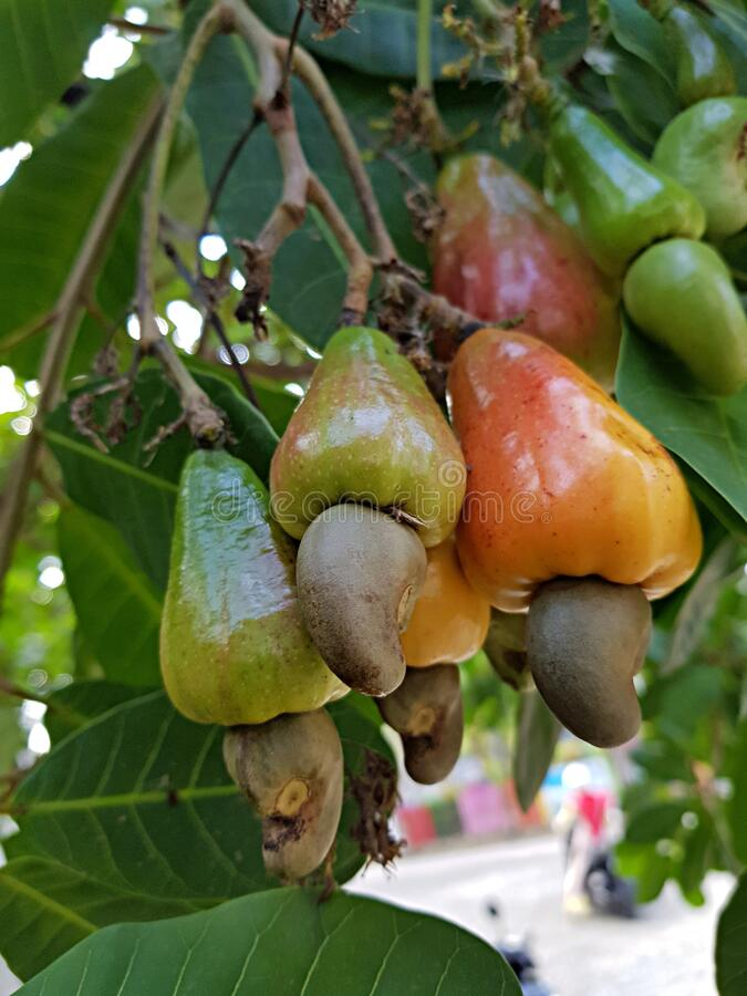 Cashew Fruits or Cashew Apples. The cashew tree Anacardium occidentale is a tropical evergreen tree that produces the cashew seed and the cashew apple. The fruit stock images