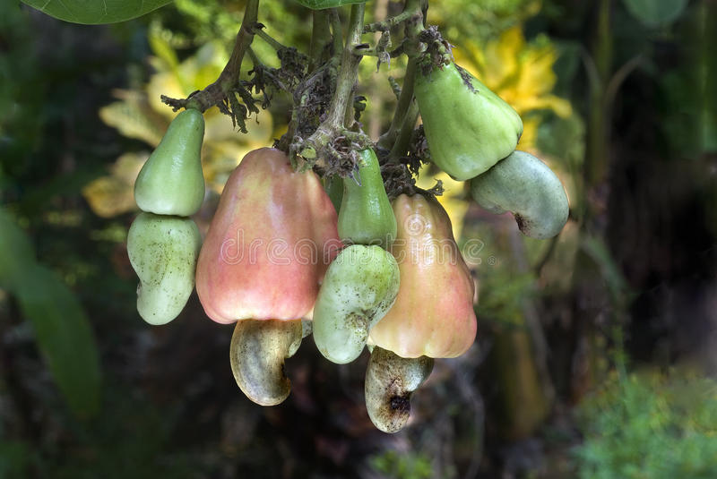 Cashew-nuts and apples on plant. Cashew-ever green tropical tree- Scientific name is anacardium occidentale-yields fruits having pear shaped receptacles (cashew stock image