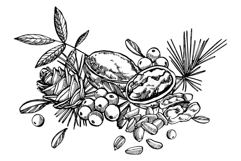 Cashew nuts, Hazelnut, Pine nuts, Walnuts and Nutmeg sketch illustrations. Hand drawn illustrations isolated on white. Background stock illustration