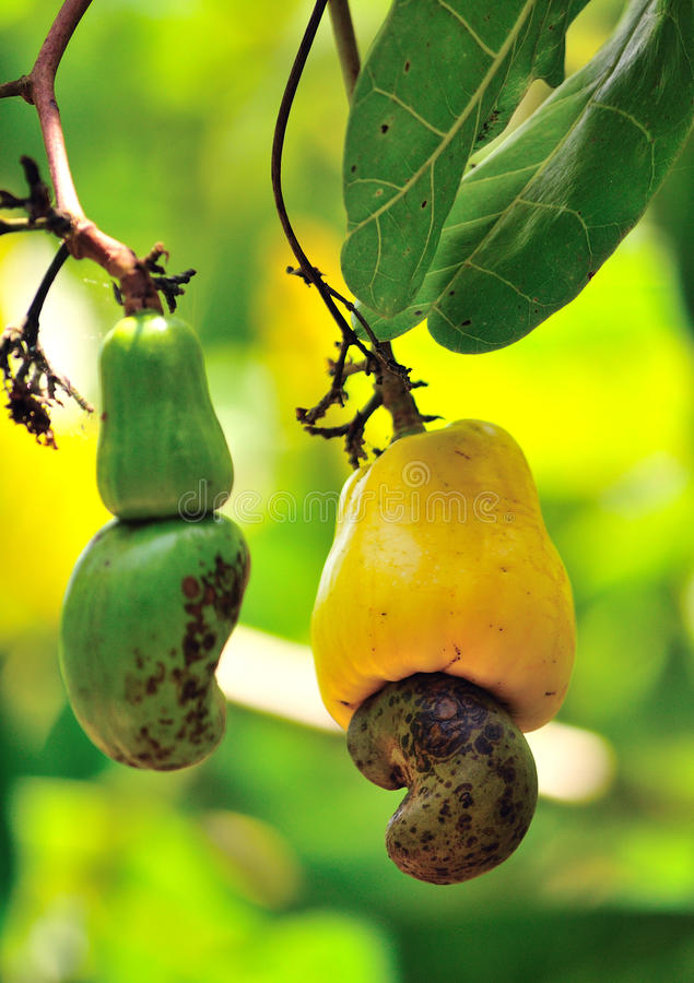Cashew nuts ripening on tree stock photography