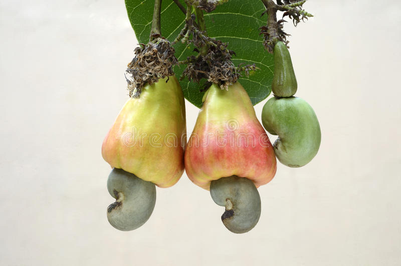 Cashew ripened apples with nuts and tender nut royalty free stock photo